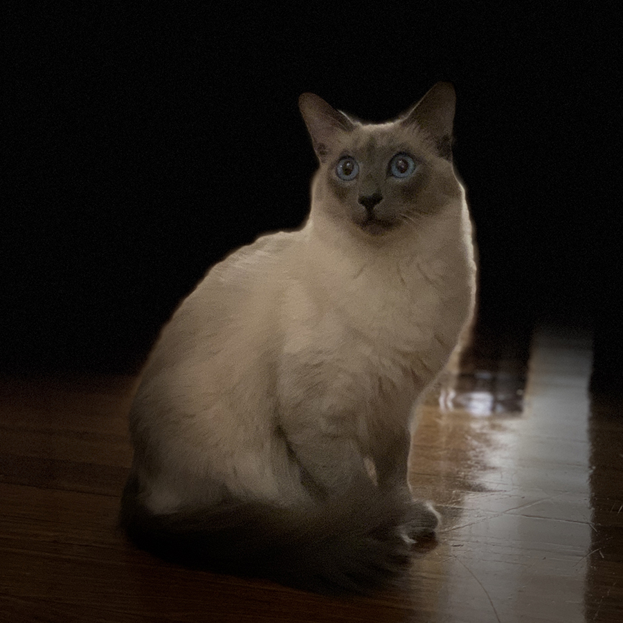 Photo of a balinese cat with his tail curled to the front on a hardwood floor, looking almost cut-out of a striking black background